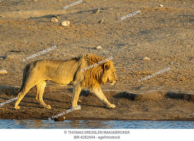 Lion (Panthera leo), male at a waterhole in the evening, Etosha National Park, Namibia