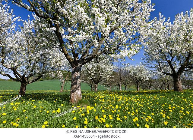 Cherry Tree Orchard, flowering in Spring, North Hessen, Germany