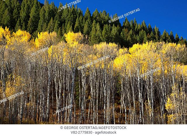 Autumn quaking aspen, Red Rock Lakes National Wildlife Refuge, Montana