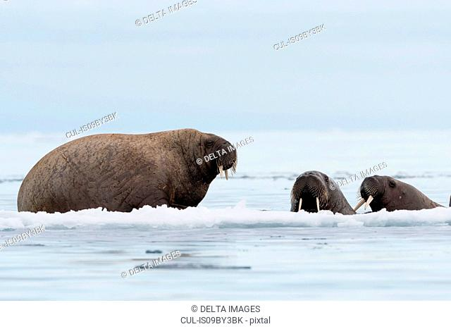 Atlantic walrus (Odobenus rosmarus) on and around icebergs, Vibebukta, Austfonna, Nordaustlandet, Svalbard, Norway