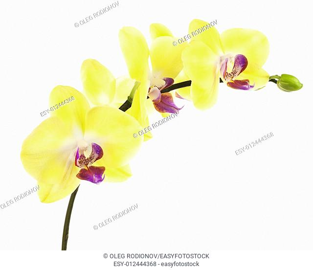 Blooming twig of yellow purple orchid, phalaenopsis isolated on white background