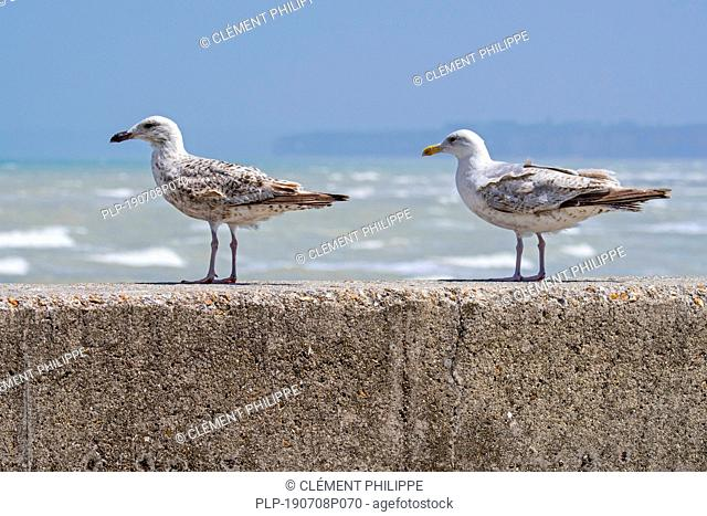 Immature European herring gulls (Larus argentatus) in second and third summer plumage perched on seawall along the North Sea coast