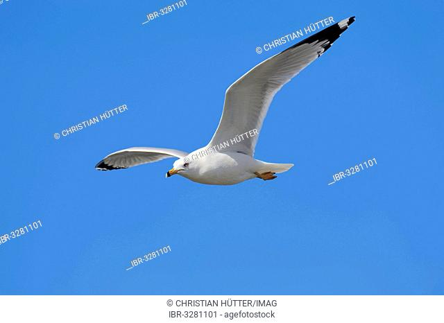 Ring-billed Gull (Larus delawarensis) in flight