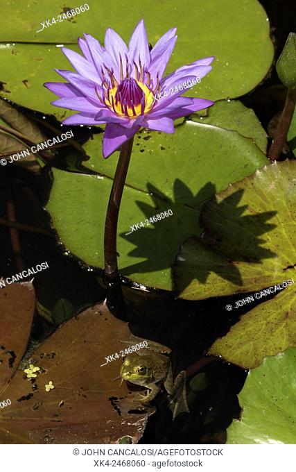 American bullfrog (Lithobates catesbeianus), indigenous to North America (Rana catesbiena), Washington, District of Columbia, USA
