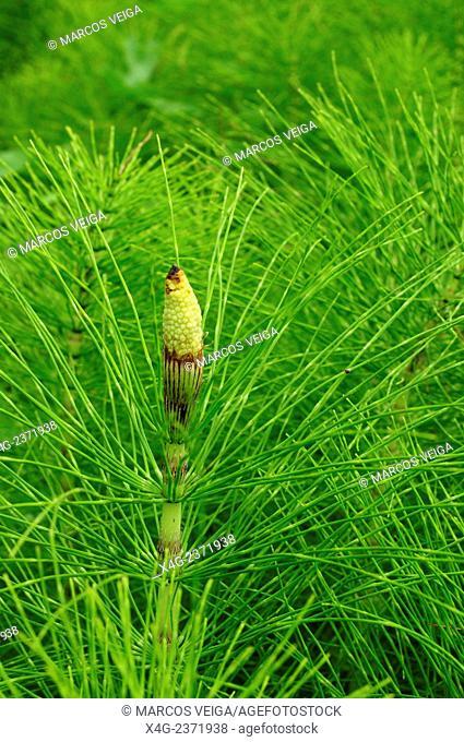 Great horsetail or northern giant horsetail (Equisetum telmateia)
