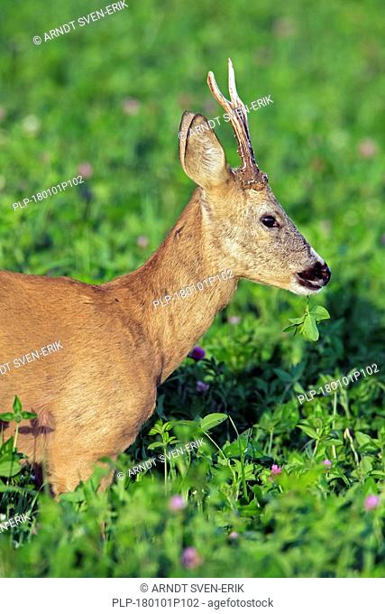 Close up portrait of European roe deer (Capreolus capreolus) buck foraging in meadow in July in summer