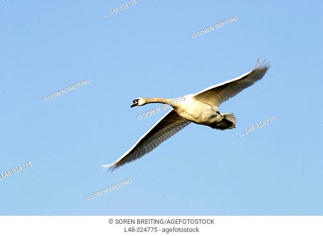 Flying swan (mute swan, Cygnus olor) on a background of the blue sky