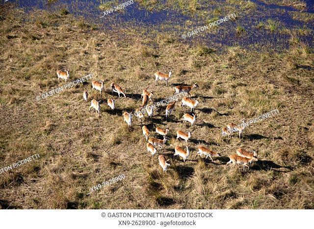 Red Lechwe (Kobus leche), aerial view. Okavango Delta, Moremi Game Reserve, Botswana. The Okavango Delta is home to a rich array of wildlife