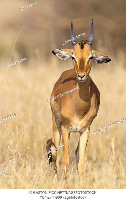 Impala (aepyceros melampus melampus), and a Redbilled Oxpeckers (Buphagus erythrorhynchus), on Impala's back. Kruger National Park, South Africa