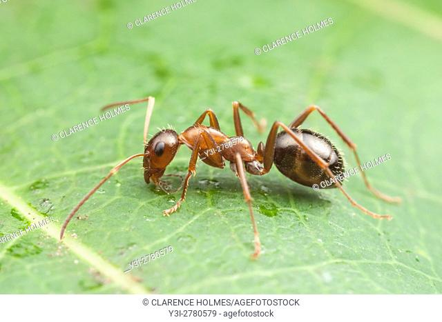 An Ant (Formica incerta) forages on the surface of a leaf