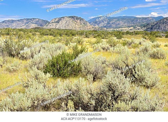 Sagebrush in Antelope-brush and shrub steppe ecosystem. Okanagan Valley. , Osoyoos, British Columbia, Canada