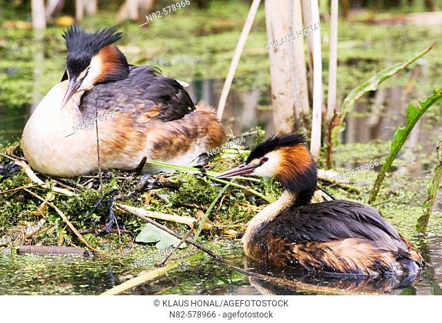 Great Crested Grebe (Podiceps cristatus) pair at the nest