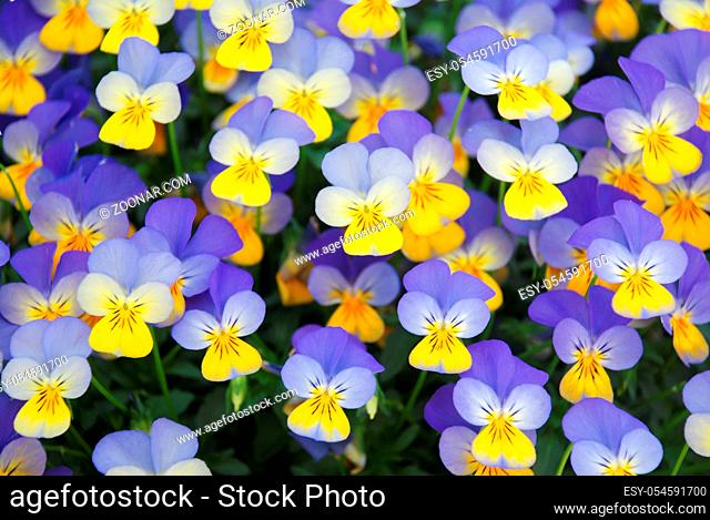 Yellow and Blue Flower Pansies closeup of colorful pansy flower, pot plant