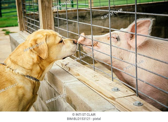 Dog and pig sniffing each other through fence