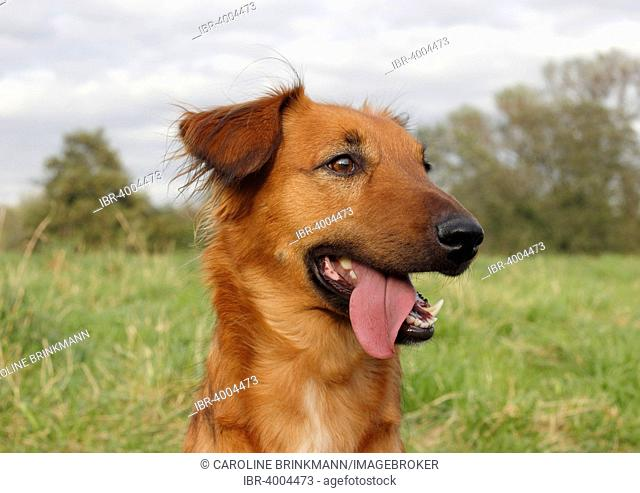 Collie Podenco mix, 3 years