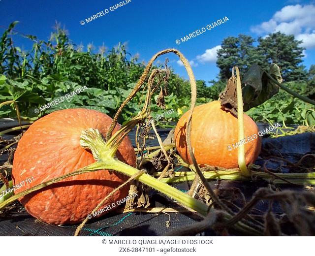 Mature pumpkins (Cucurbita pepo). Hortasan organic farm house of Feal, San Mamede de Ribadulla Parish, Vedra Council. A Coruña province near Santiago de...