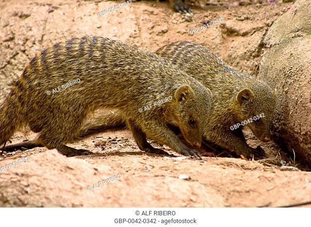 Mongoose Brindle; Banded Mongoose; Zoopark of Itatiba; Sao Paulo; SP; Brazil