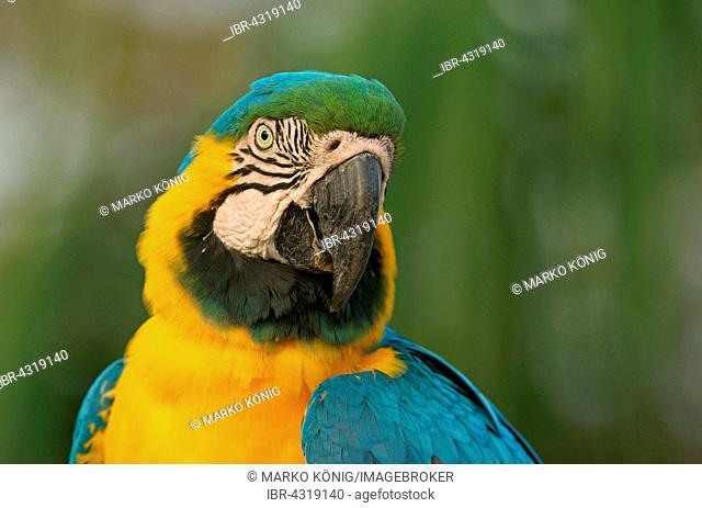 Blue-and-yellow Macaw (Ara ararauna), portrait, Pantanal, Brazil
