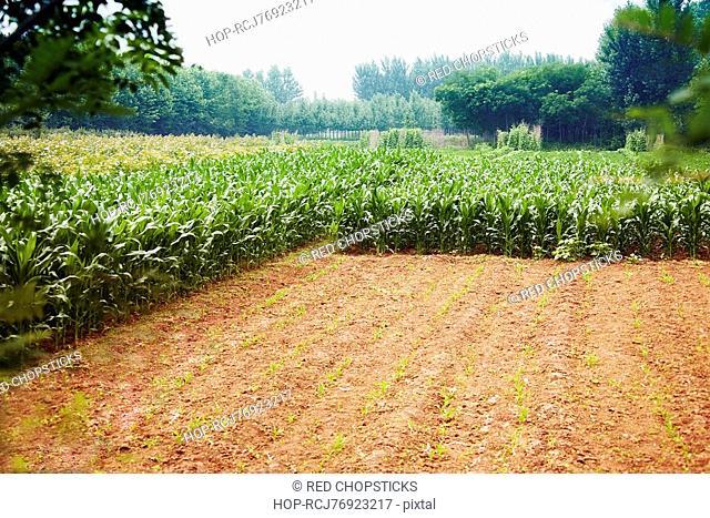Crop in a field, Zhigou, Shandong Province, China