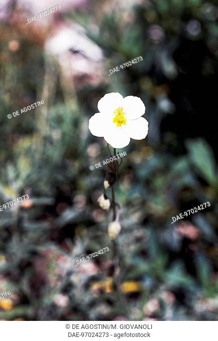 White Rock-rose (Helianthemum apenninum), Cistaceae