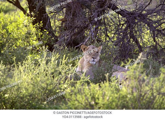 African lion (Panthera leo) - female, in the gravel road, Kgalagadi Transfrontier Park, Kalahari desert, South Africa/Botswana