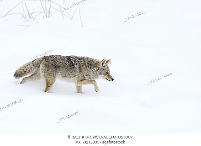 Coyote / Kojote ( Canis latrans ) in winter, walking through deep snow, hunting, Yellowstone Area, Wyoming, USA.