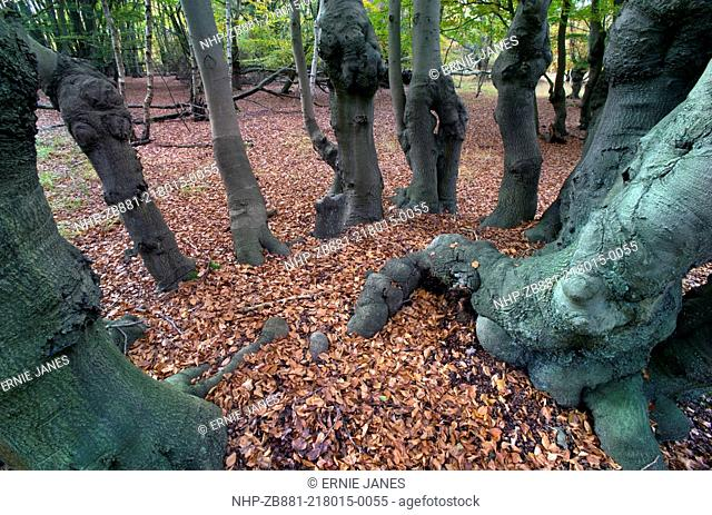 Epping Forest Essex Ancient Beech pollarded Fagus sylvatica in Autumn