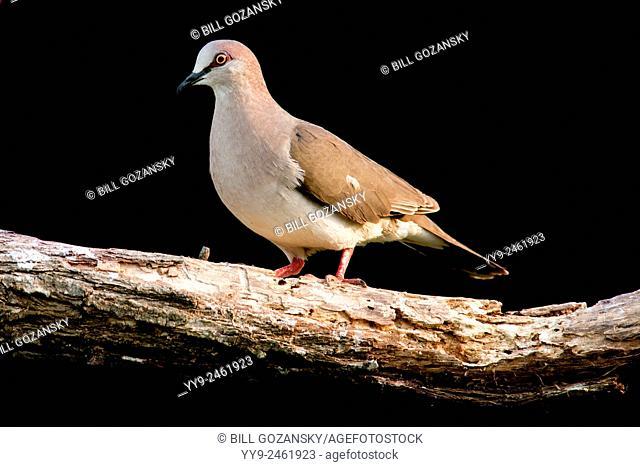 White-tipped Dove (Leptotila verreauxi) - Camp Lula Sams - Brownsville, Texas, USA
