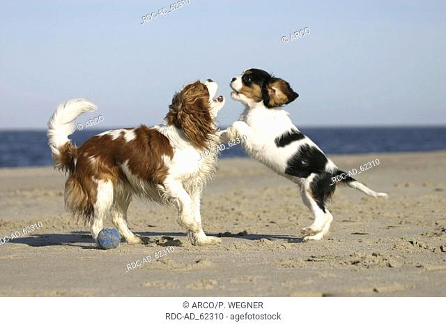 Cavalier King Charles Spaniel with puppy 10 weeks tricolor