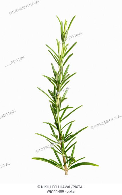 Rosemary leaves herb