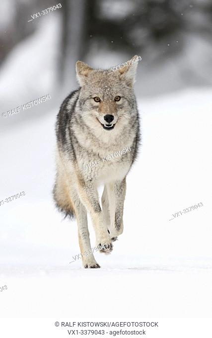 Coyote / Kojote ( Canis latrans ) in winter, high snow, in a hurry, running, frontal view, seems to be happy, looks funny, Yellowstone NP, Wyoming, USA