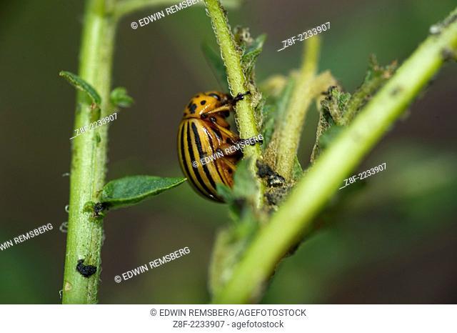 Potato beetle on stem