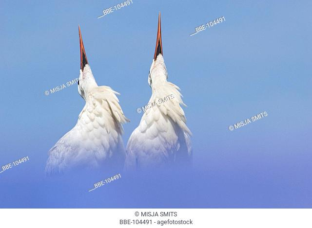 A pair of courting white storks against a blue sky