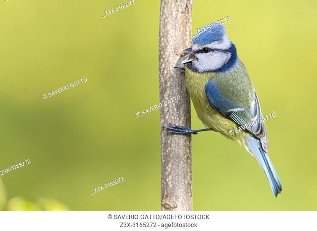 Eurasian Blue Tit (Cyanistes caeruleus), adult singing from a stalk