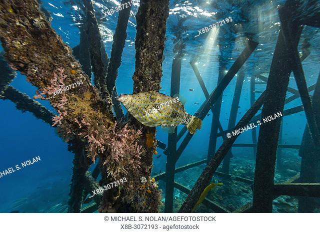 Adult scrawled filefish, Aluterus scriptus, hovering near piling on Sebayur Island, Flores Sea, Indonesia