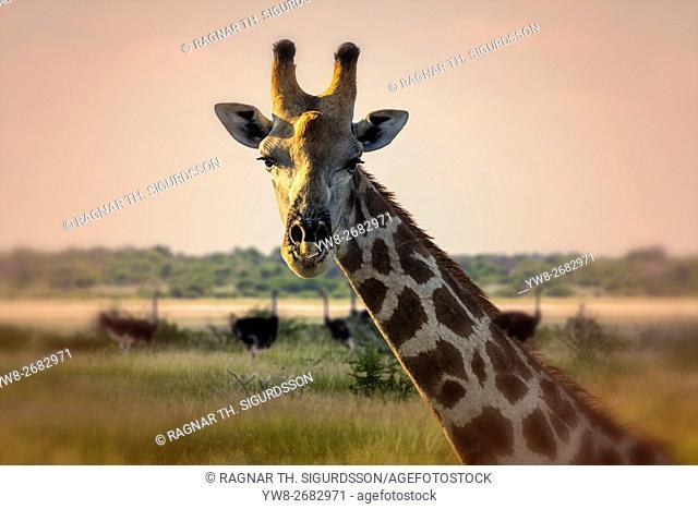 Portrait of Giraffe, Etosha National Park, Namibia, Africa
