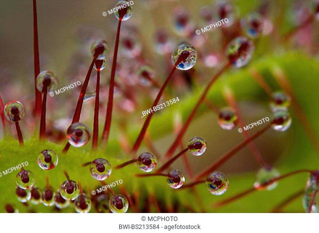 great sundew, English sundew (Drosera anglica), macro shot of glands with drops