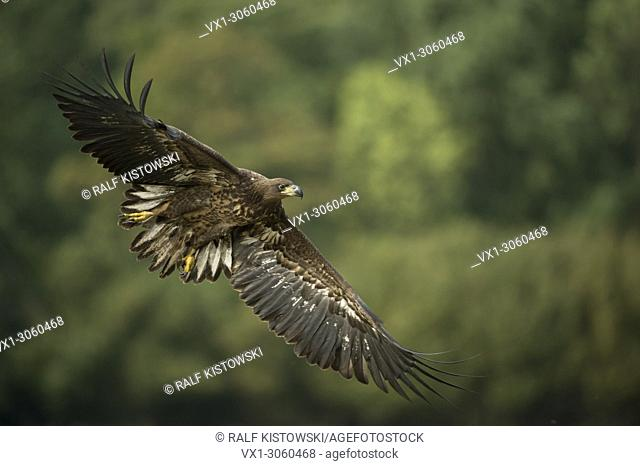 White-tailed Eagle / Sea Eagle ( Haliaeetus albicilla ), immature, in flight just before landing, in front of green woods, wildlife, Europe