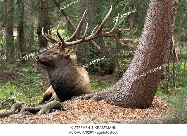 Wild bull Elk or Wapiti, Cervus canadensis, laying down near base of tree with mossy, green forest. Jasper National Park, Alberta, Canada