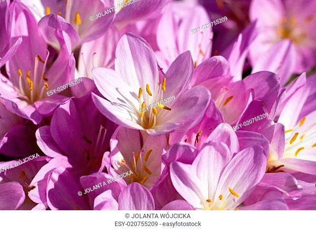 lilac autumn crocus flowers blooming in the garden