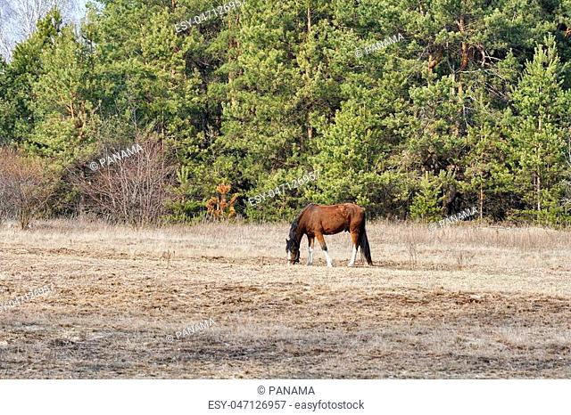 Horse nibbling on short grass in summer pasture