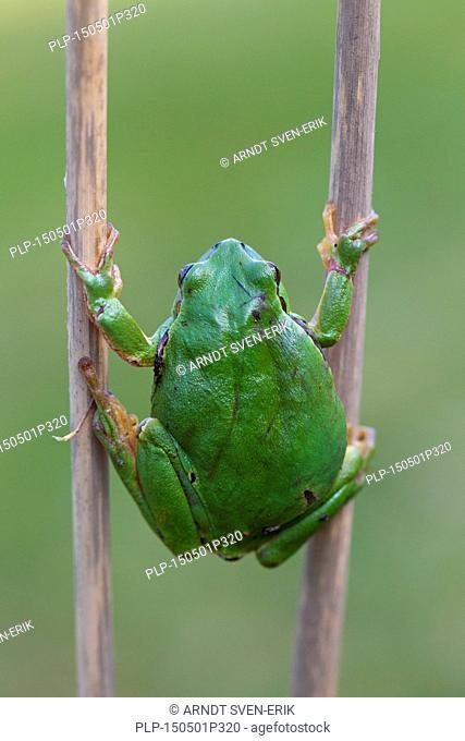 European tree frog (Hyla arborea / Rana arborea) climbing reed stem in wetland