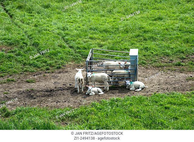 sheep at farm in Holland