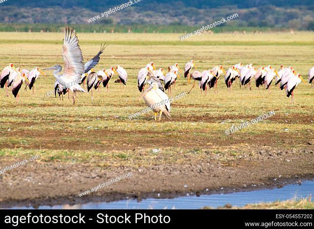 Great white pelican with flock of Yellow billed stork in background, Lake Manyara, Tanzania. African safari. Africa