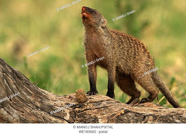 Banded mongoose, Masai Mara National Reserve, Kenya