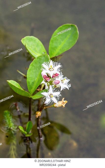 Menyanthes trifoliata, Marsh Trefoil, Trefoil