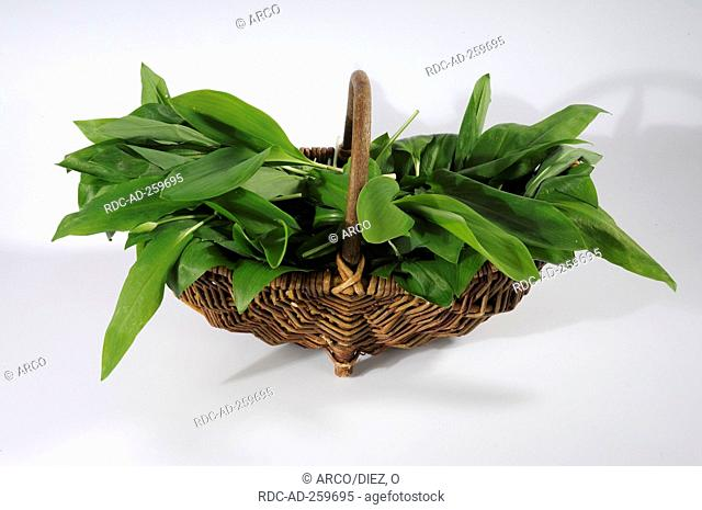 Basket with leaves of Lords and Ladies Ramson Meadow Saffron and Lily of the Valley Arum maculatum Allium ursinum Colchicum autumnale Convallaria majalis