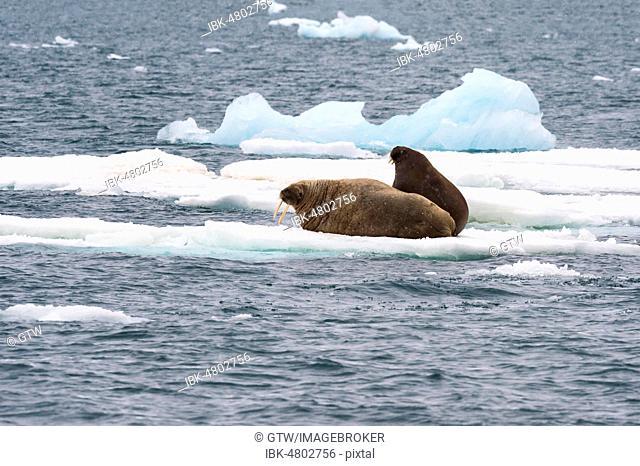 Walrus (Odobenus rosmarus) resting on ice, Brassvell Glacier, Nordaustlandet, Svalbard archipelago, Norway