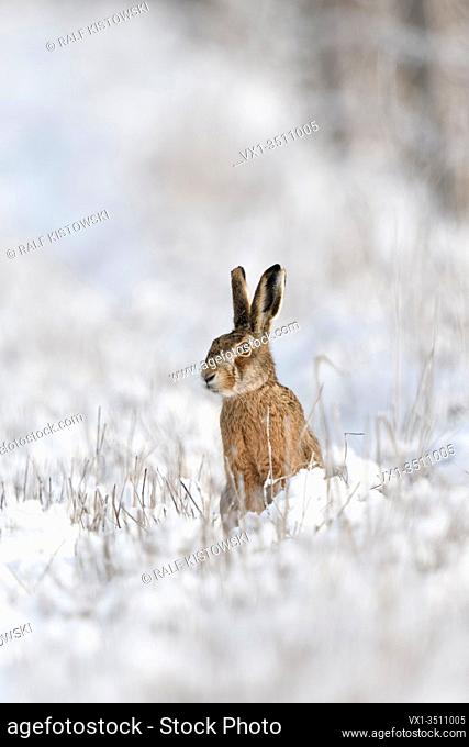 Brown Hare / European Hare / Feldhase ( Lepus europaeus ) in winter, sitting at the edge of a snow covered meadow, watching attentively, wildlife, Europe