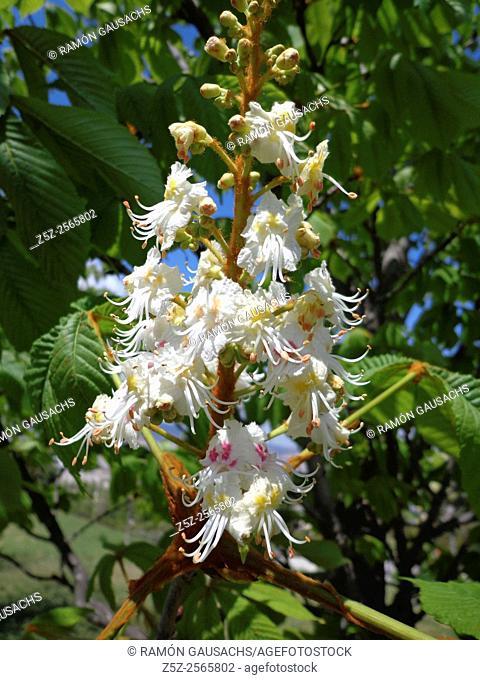 Horse-chestnut (Aesculus hippocastanum). Catalonia, Spain